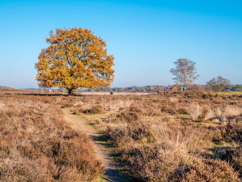 Ludzie chodzi i jesieni dębowy drzewo w wrzosowiskowym rezerwacie przyrodym Zuide obrazy royalty free