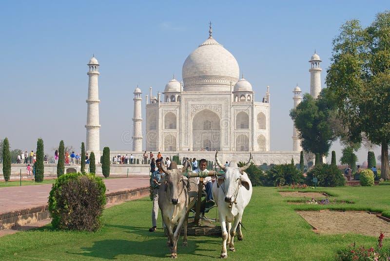 Download Ludzie Cią Trawy Z Byk Jadącą Gazon Wnioskodawcą Przy Taj Mahal W Agra, India Fotografia Editorial - Obraz złożonej z dziedzictwo, trawy: 57658352