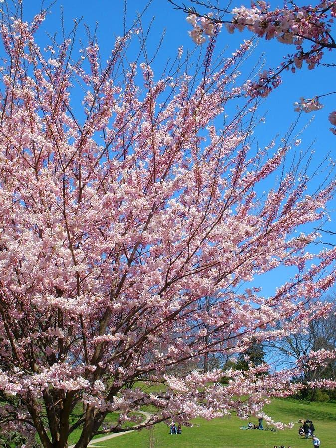 Ludzie cieszą się wiosen czereśniowych okwitnięcia przy Toronto ` s, Wysoki park fotografia stock