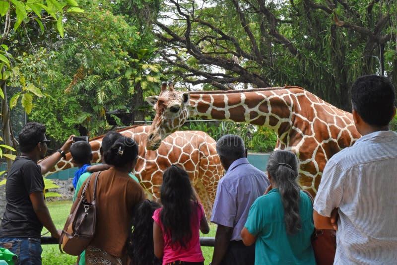 Ludzie eatching Girafs przy Zoologicznymi ogródami, Dehiwala colombo sri lanki fotografia royalty free