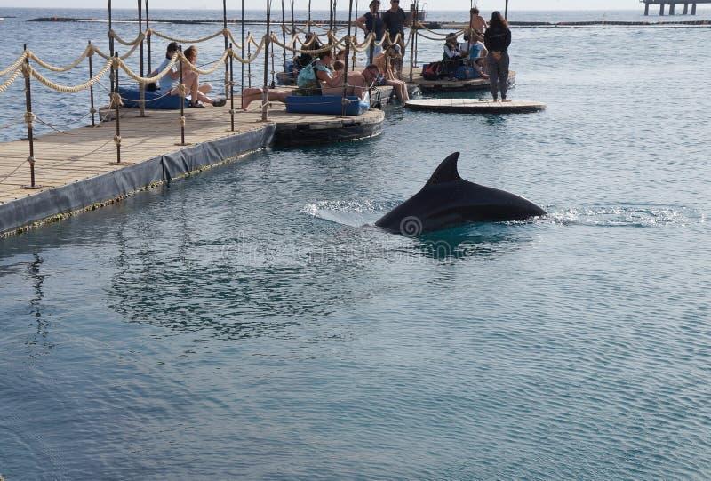 Ludzie obserwują pływackiego delfinu, Eilat fotografia royalty free