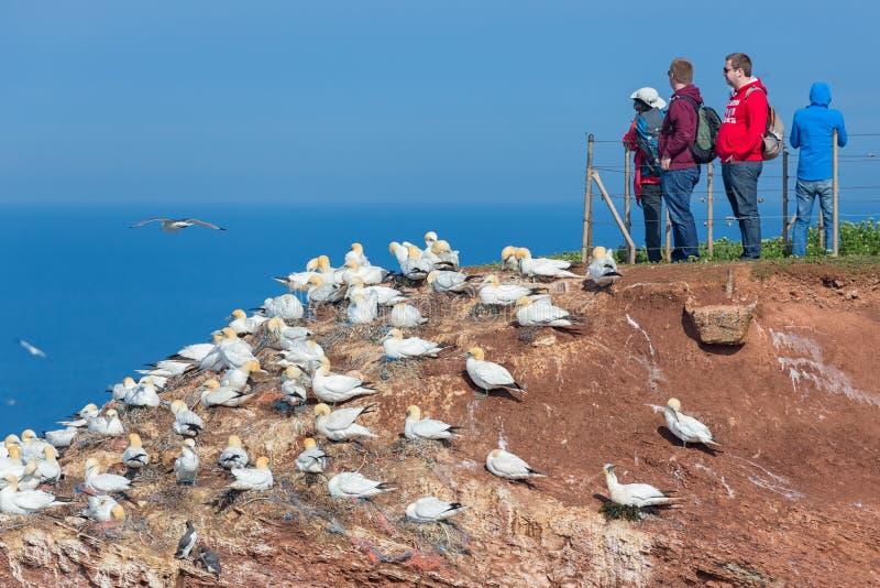 Ludzie patrzeje Północnego Gannets przy Niemiecką wyspą Helgoland obrazy stock