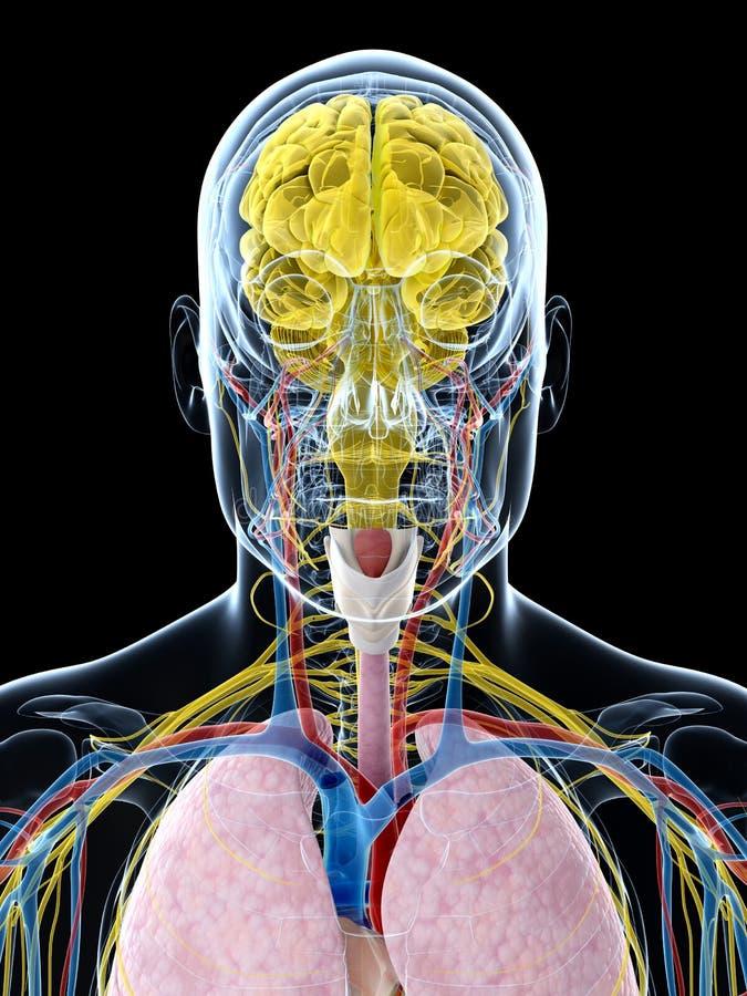 Download Ludzka anatomia ilustracji. Ilustracja złożonej z nerwy - 28962470