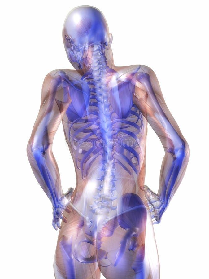 Ludzka anatomia ilustracji