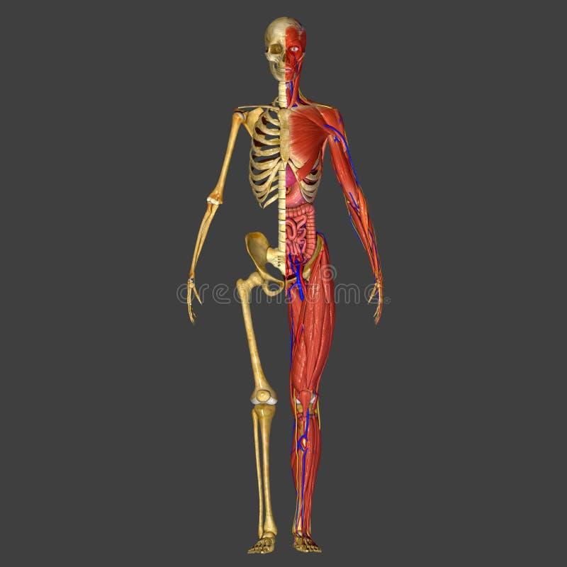 Ludzka anatomia zdjęcie royalty free