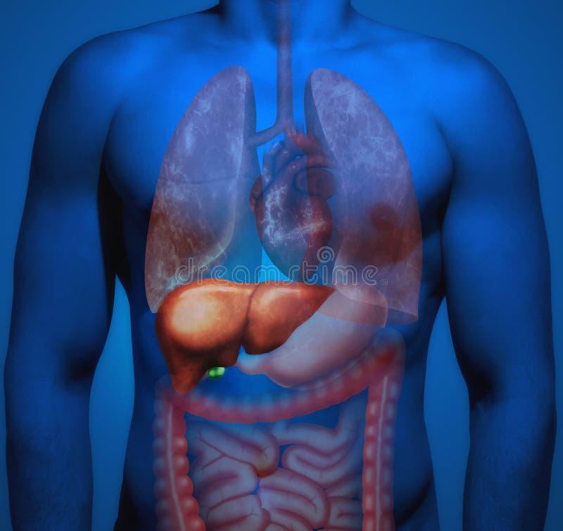 Ludzka anatomia 3D odpłacająca się anatomiczna ilustracja obrazy royalty free