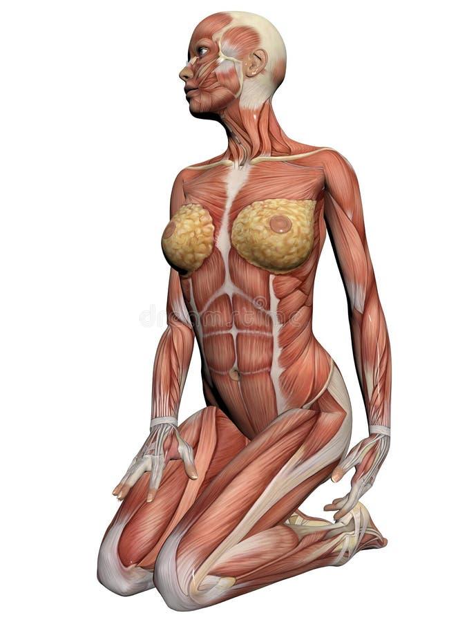 Ludzka anatomia - Żeńscy mięśnie ilustracji