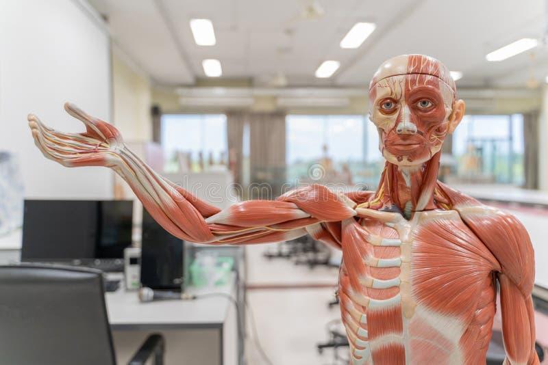 Ludzka anatomia i fizjologia modelujemy w laboratorium obraz royalty free