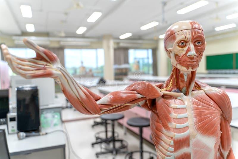 Ludzka anatomia i fizjologia modelujemy w laboratorium zdjęcie stock