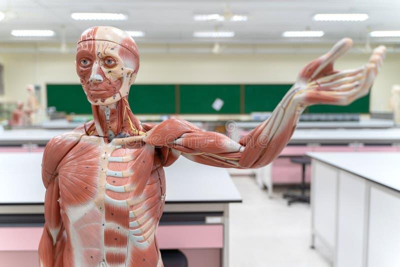 Ludzka anatomia i fizjologia modelujemy w laboratorium fotografia stock