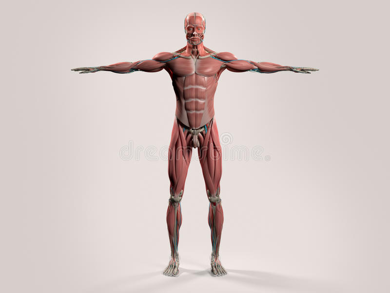 Ludzka anatomia z frontowym widokiem pełny ciało royalty ilustracja