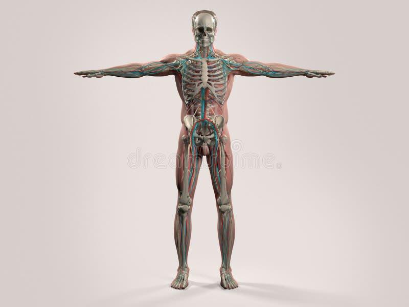 Ludzka anatomia z frontowym widokiem pełny ciało zdjęcie royalty free
