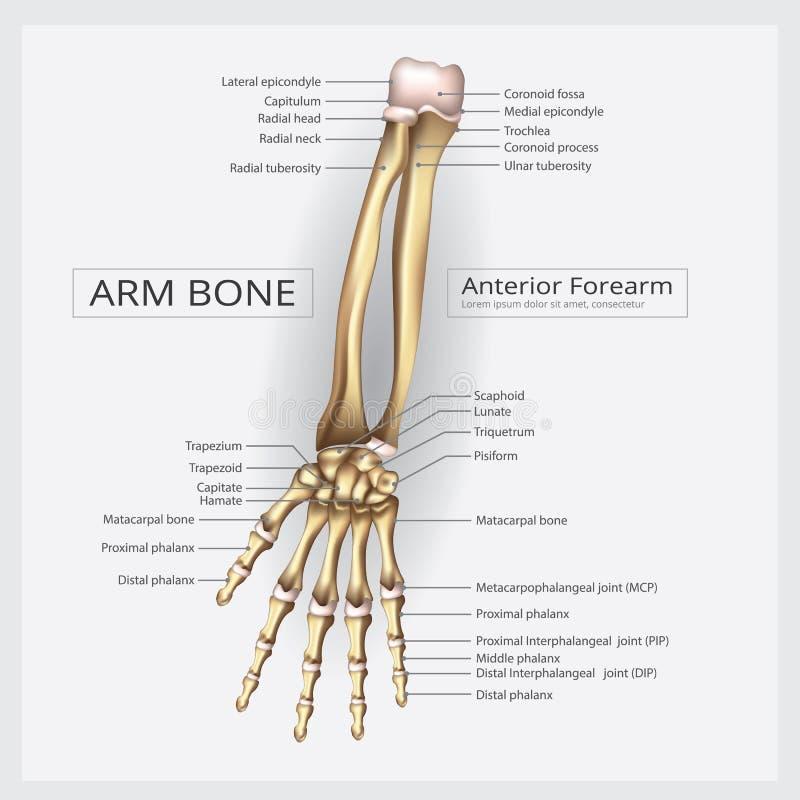 Ludzka anatomii ręki kość royalty ilustracja