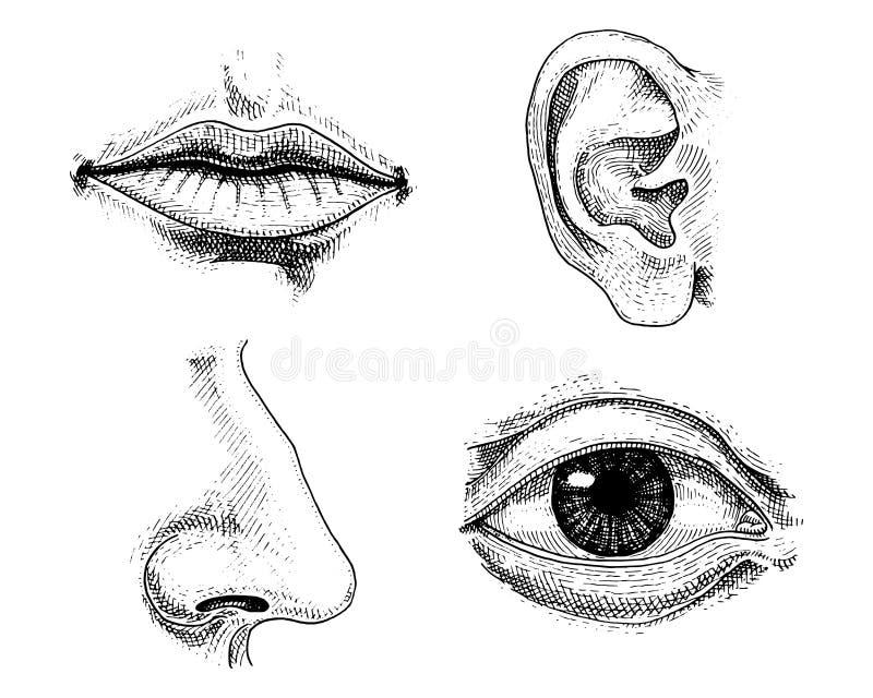 Ludzka biologia, organ anatomii ilustracja grawerująca ręka rysująca w starym nakreślenia i rocznika stylu twarz wyszczególniając obrazy royalty free