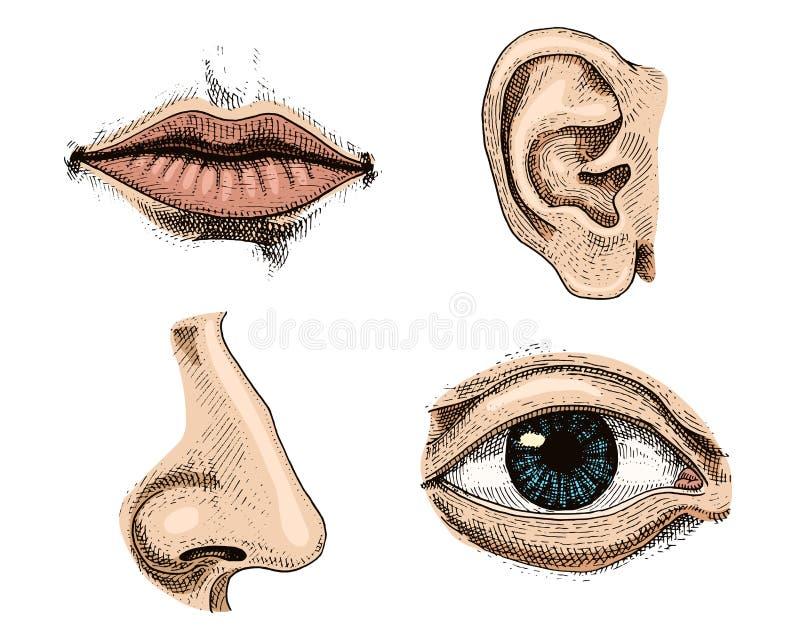 Ludzka biologia, organ anatomii ilustracja grawerująca ręka rysująca w starym nakreślenia i rocznika stylu twarz wyszczególniając ilustracja wektor