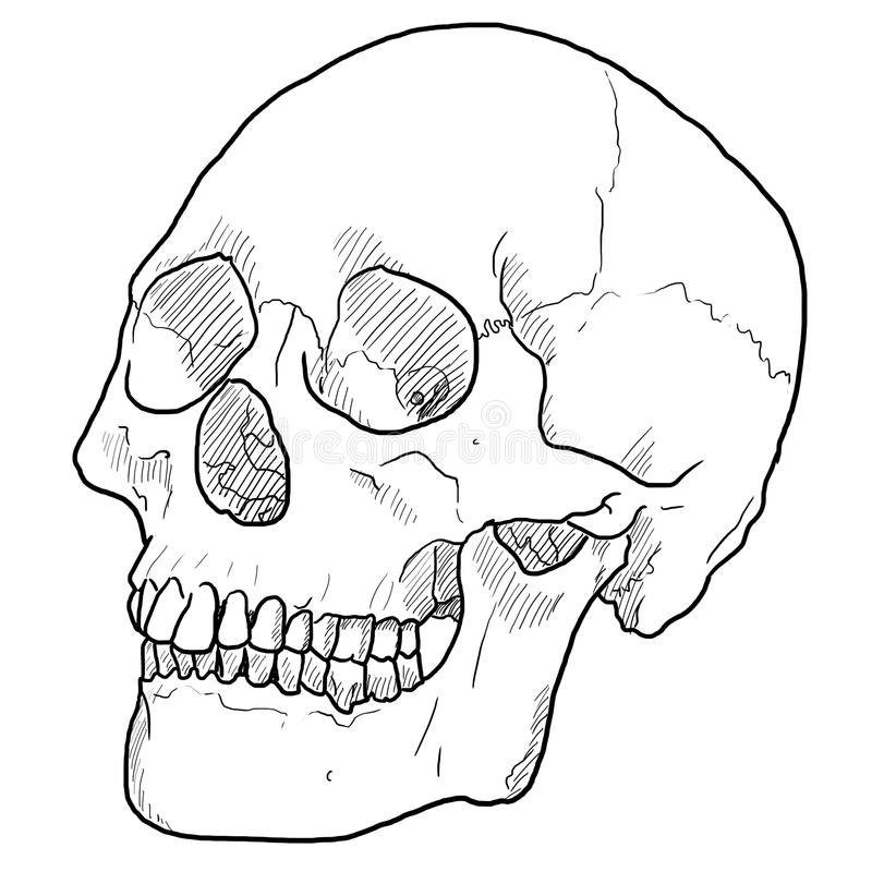 Ludzka czaszka, Kreskowy rysunek obraz stock