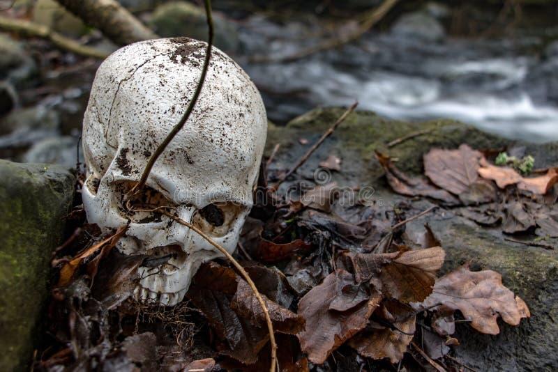 Ludzka czaszka na skałach z liśćmi na brzegu jesiennego potoku obraz stock