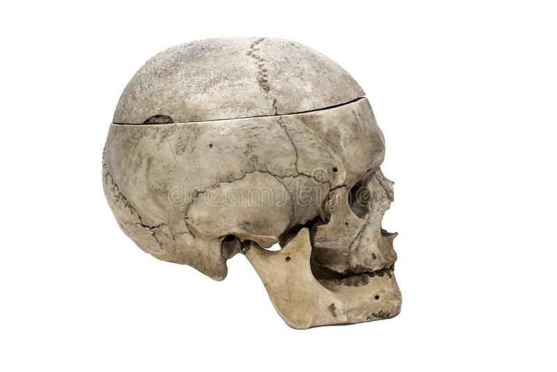 Ludzka czaszka od strony obraz royalty free