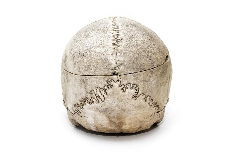 Ludzka czaszka od tylnej strony na białym tle zdjęcie royalty free