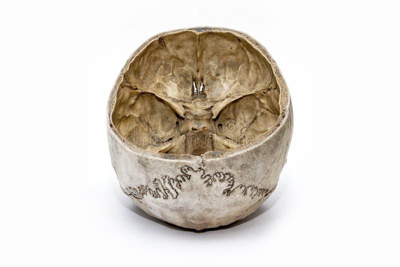 Ludzka czaszka od tylnej strony obraz royalty free