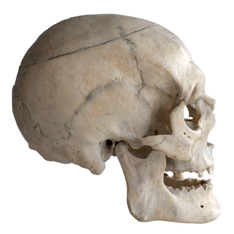 Ludzka czaszka odizolowywająca na bielu, zakończenie zdjęcia royalty free