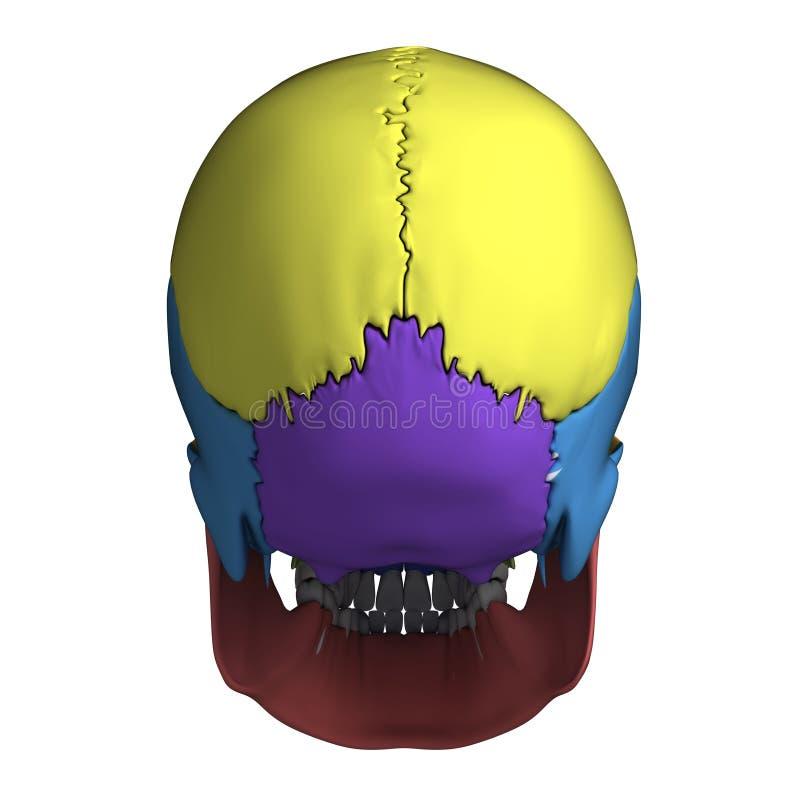 Ludzka czaszki anatomia royalty ilustracja