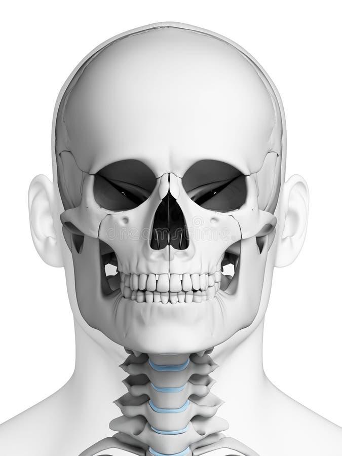 Ludzka czaszki anatomia ilustracja wektor