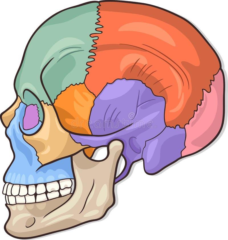 Ludzka Czaszki Diagrama Ilustracja royalty ilustracja