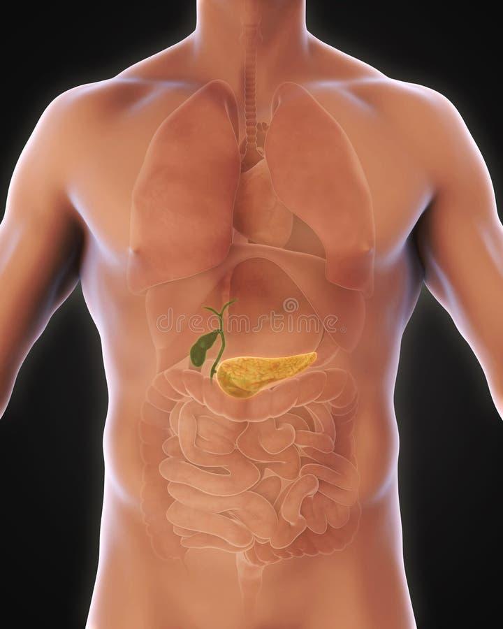 Ludzka Gallbladder i trzustki anatomia ilustracji
