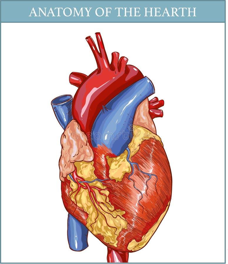 Ludzka Hearth anatomia royalty ilustracja