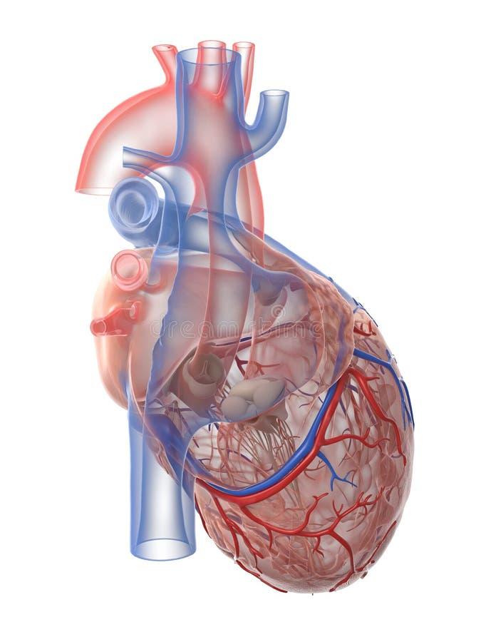 Ludzka kierowa anatomia ilustracja wektor