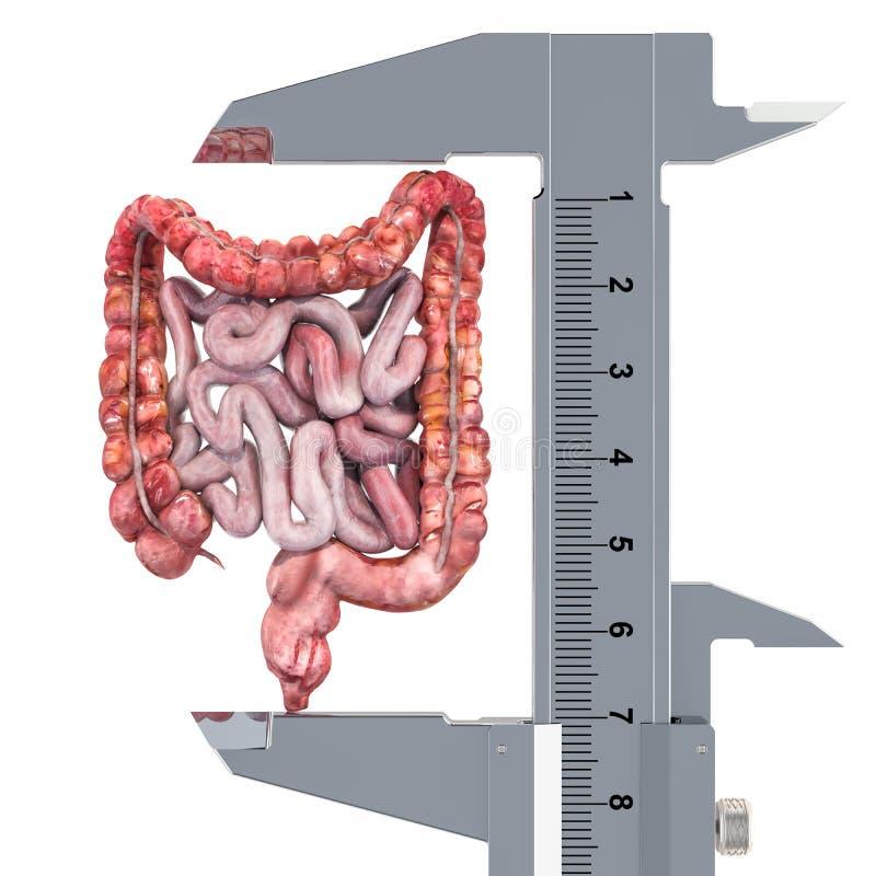 Ludzka kiszka z noniuszu caliper Badanie i diagnoza jelita pojęcie, 3D rendering ilustracji