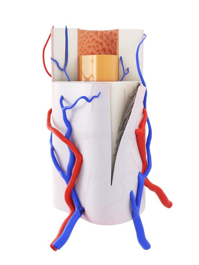ludzka kości anatomia ilustracja wektor