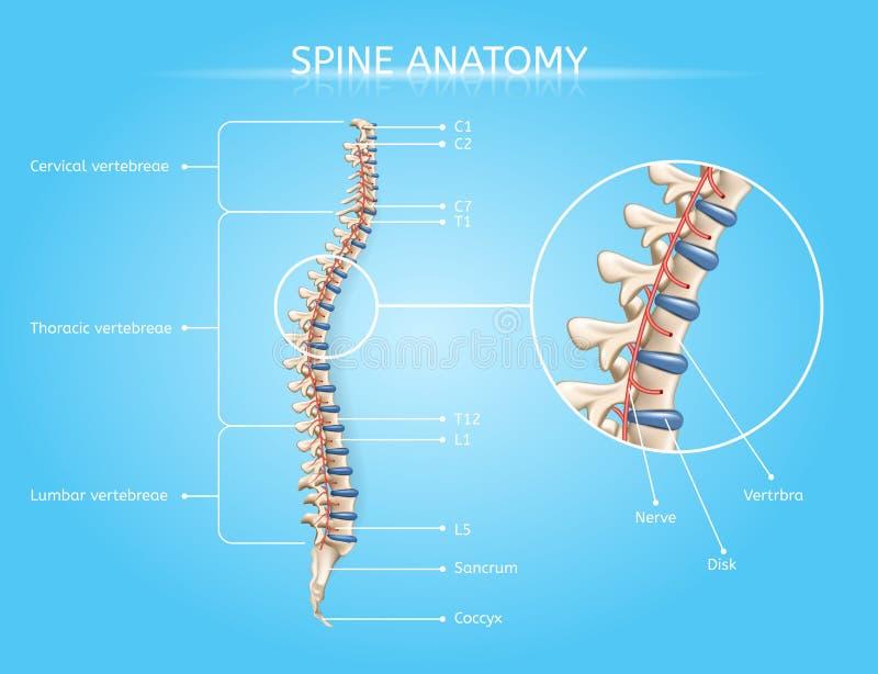 Ludzka kręgosłup anatomia Wektorowy Medyczny Infographic royalty ilustracja