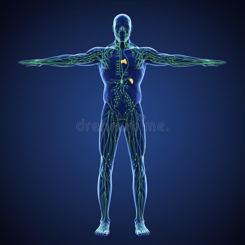 Ludzka Limfatycznego systemu ilustracja ilustracji
