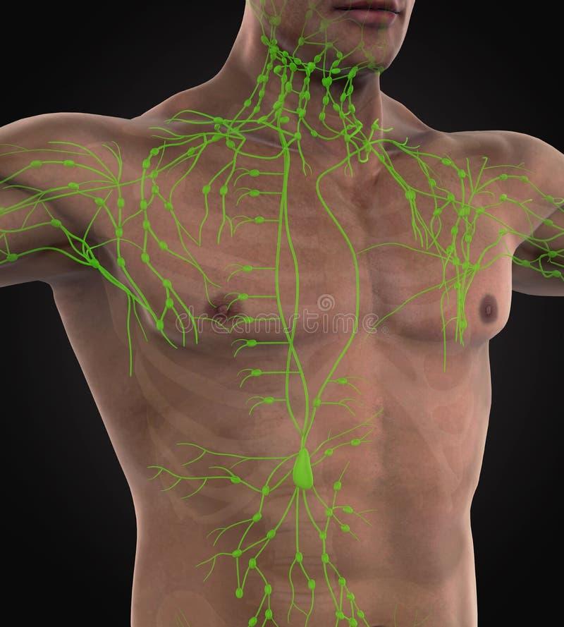 Ludzka Limfatycznego systemu ilustracja ilustracja wektor