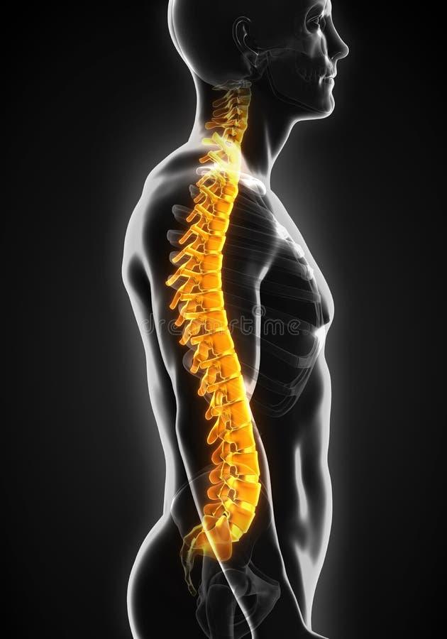 Ludzka Męska kręgosłup anatomia royalty ilustracja