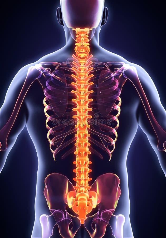 Ludzka Męska kręgosłup anatomia ilustracja wektor