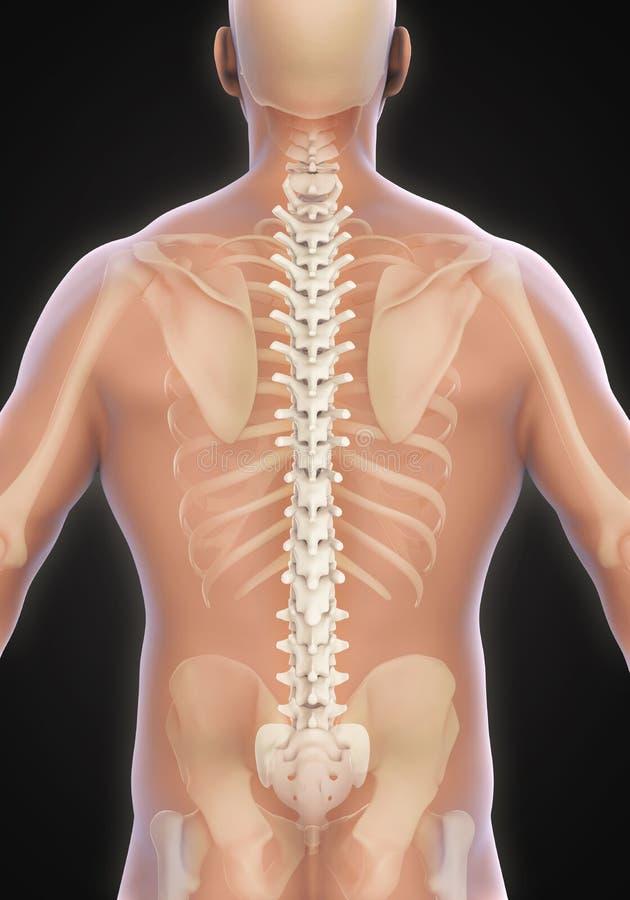 Ludzka Męska kręgosłup anatomia ilustracji