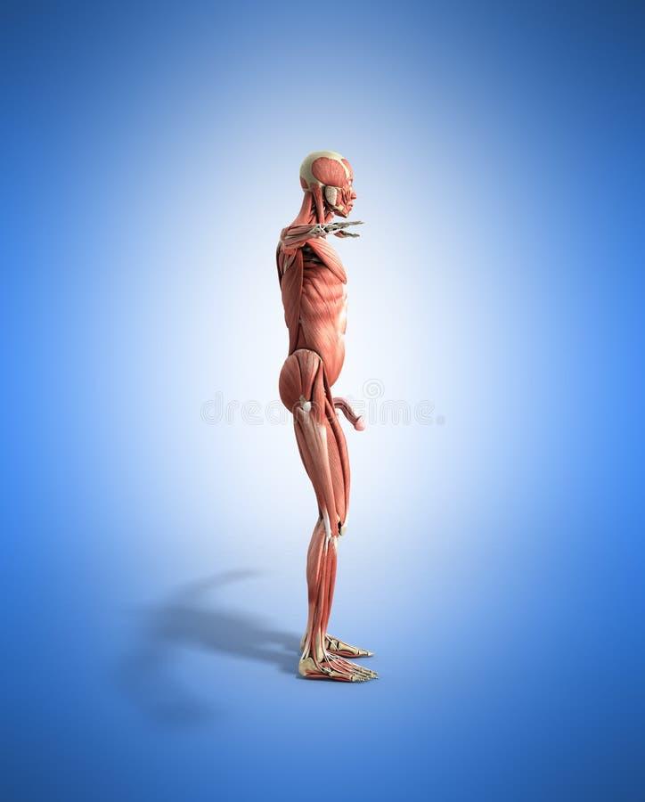 Ludzka mięsień anatomia 3d odpłaca się na błękicie ilustracji