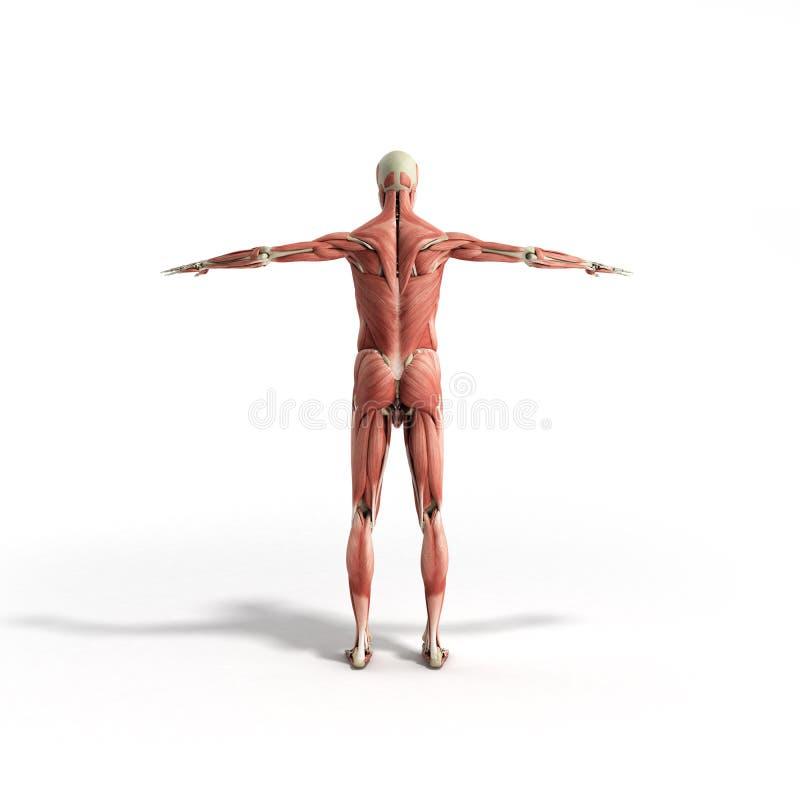 Ludzka mięsień anatomia 3d odpłaca się na bielu ilustracja wektor