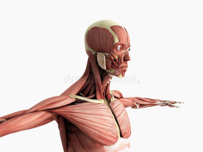 Ludzka mięsień anatomia 3d odpłaca się na bielu ilustracji