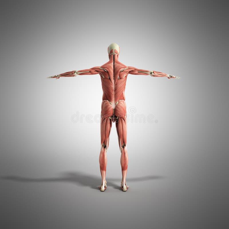 Ludzka mięsień anatomia 3d odpłaca się na popielatym ilustracji