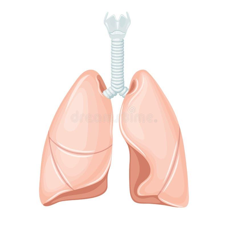 Ludzka płuco anatomia ilustracja wektor