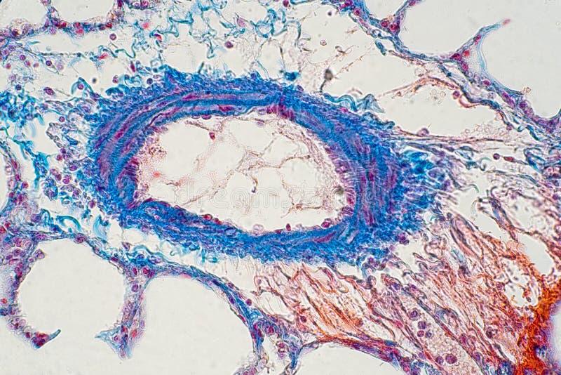 Ludzka p?uco tkanka pod mikroskopu widokiem zdjęcia stock