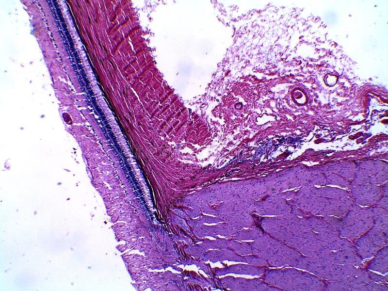 Ludzka siatkówka i część niewidomy punkt pod mikroskopem fotografia royalty free