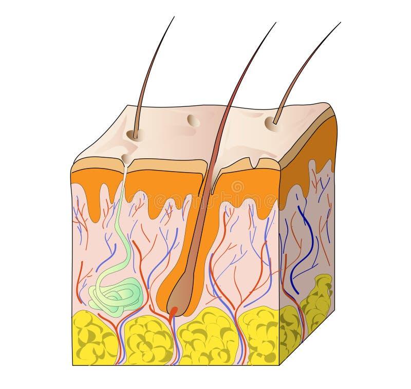 ludzka skóra royalty ilustracja