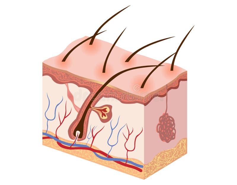 Ludzka skóra - Akcyjna ilustracja zdjęcie stock