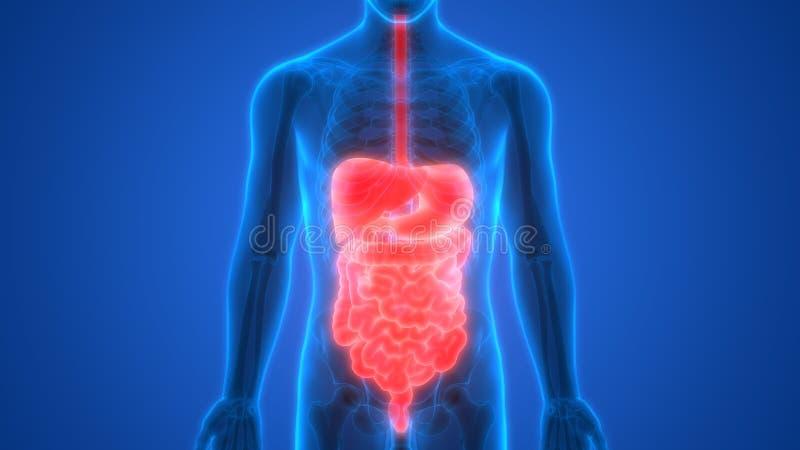 Ludzka Trawiennego systemu anatomii wątróbka z żołądka, Wielkiego i Małego jelitem, royalty ilustracja