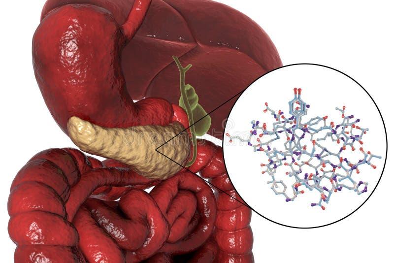 Ludzka trzustki anatomia ilustracja wektor